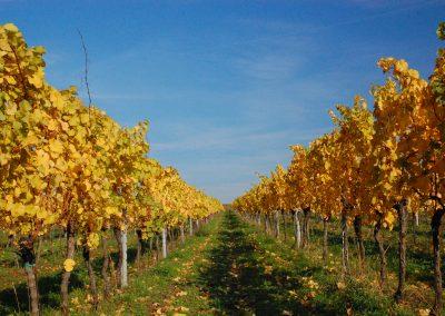Vinohrad na podzim